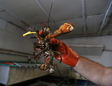 MIKE SPRINGER/Staff photo Joey Ciaramitaro holds freshly landed lobster Friday at Captain Joe & Sons in Gloucester. 8/17/2018