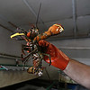 MIKE SPRINGER/Staff photo<br /> Joey Ciaramitaro holds freshly landed lobster Friday at Captain Joe & Sons in Gloucester.<br /> 8/17/2018