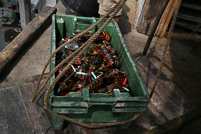 MIKE SPRINGER/Staff photo A crate of freshly landed lobsters Friday at Captain Joe & Sons in Gloucester. 8/17/2018