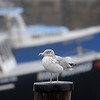 TIM JEAN/Staff photo<br /> <br /> A seagul watches over Rockport harbor on a foggy day on Cape Ann.  12/21/18