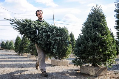 Christmas Trees in Peabody