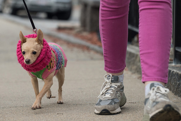 Desi Smith Staff photo/Gloucester Daily Times.      Penelope a Chihuahua is dressed for the weather while walking along Beach Street in Rockport with her owners Rich and Amy Riggs Saturday afternoon.  February 1,2013.