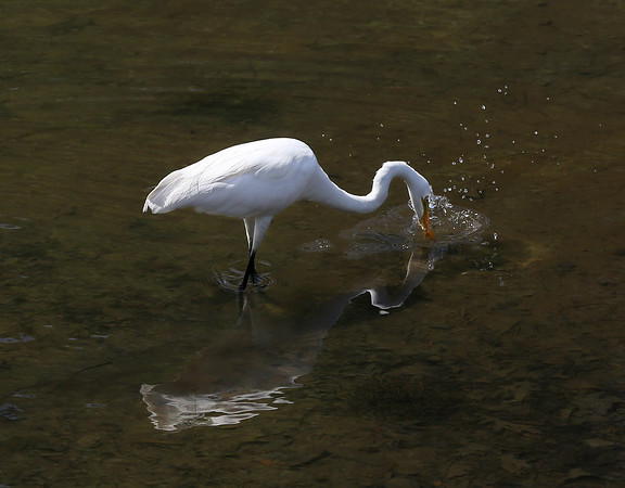 MIKE SPRINGER/Staff photo<br /> A white heron catches a fish Monday in Manchester Harbor.<br /> 7/23/2018