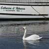 MIKE SPRINGER/Staff photo<br /> A swan swims gracefully across the surface of Rockport Harbor.