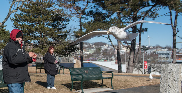 """AMANDA SABGA/Staff photo<br /> <br /> Local author Andrew Joyce feeds seagulls at Captain Solomon Jacobs Park in downtown Gloucester Wednesday morning. Joyce says """"I try to be democratic [with the bread] especially to the guys in the back."""" <br /> <br /> 1/30/19"""