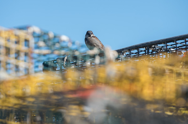 AMANDA SABGA/Staff photo<br /> <br /> A bird sits perched on stacks of lobster cages near Harbor Cove in downtown Gloucester Wednesday morning. <br /> <br /> 1/30/19