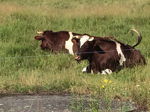 ANDREA HOLBROOK/staff photo<br /> Cattle take a morning nap Thursday near the roadside at Alprila Farm on John Wise Avenue (Route 133) in Essex.