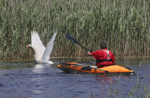 Attempted Swan Rescue