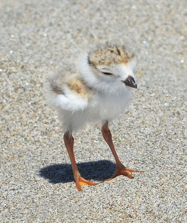 MIKE SPRINGER/Staff photo<br /> A newly hatched piping plover walks on the sand Monday at Good Harbor Beach in Gloucester. Four baby plovers hatched on Friday.<br /> 6/11/2018