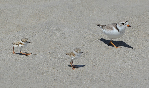 MIKE SPRINGER/Staff photo<br /> A pair of newly hatched piping plovers follow an adult male on the sand Monday at Good Harbor Beach in Gloucester. Four baby plovers hatched Friday.<br /> 6/11/2018