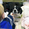 TIM JEAN/Staff photo<br /> A black and white 3 month old retriever mixed breed puppy, has his ear scratched by Calvin Yukins, 3, left, and his sister Claire, 6, both of Manchester, during a meet and greet with Cape Ann Animal Aid at the Manchester By-The-Sea Public Library.  3/25/17