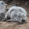 MIKE SPRINGER/Staff photo<br /> This injured grey seal, shown resting Tuesday on the beach at Old House Cove in Gloucester, was rescued Thursday afternoon by a team of biologists from the Rye, New Hampshire-based Seacoast Science Center and the National Oceanic & Atmosphic Administration (NOAA). Jodi Swenson of the Cape Ann Wildlife, Inc., in Essex had lobbied for the rescue on Facebook and through direct phone calls. Swenson said the biologists suspect the weanling seal had been injured by a shark. By Thursday afternoon it was in a serious state of dehydration. The rescuers used a tube to give the seal water before transporting it to the National Marine Life Center at Buzzards Bay, where it will be treated.<br /> 3/27/2018