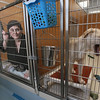 "MIKE SPRINGER/Staff photo<br /> Jenn Schmorrow of Gloucester looks out from a kennel as her next-door neighbor Teddy, a labrador mix, yawns Friday at Cape Ann Animal Aid's Christopher Cutler Rich Animal Shelter. Schmorrow was among a small group of volunteers who were living for 24 hours in cat and dog kennels as part of a ""Night Without A Family"" fundraiser.<br /> 3/9/2018"