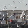 Desi Smith/Staff photo.     A flock of seagulls hover above workers at Cape Seafoods,as they dump large tubs of fresh heron onto a conveyor belt were they are then iced down and sold as bait, Monday afternoon at the State Pier.   May 2,2016