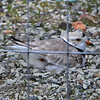 MIKE SPRINGER/Staff photo<br /> A female piping plover sits on her nest Thursday inside an enclosure on the parking lot of Good Harbor Beach in Gloucester. One of a threatened species, the piping plover had laid two eggs at the location by Thursday morning.<br /> 5/10/2018