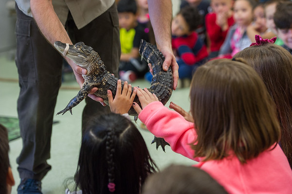 AMANDA SABGA/Staff photo <br /> <br /> Students pet a baby alligator during a visit from Curious Creatures at the Veterans' Memorial School in Gloucester. <br /> <br /> 10/23/18