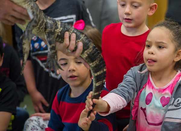 AMANDA SABGA/Staff photo <br /> <br /> Kaiven Ghatas and Jaelynne Knikkner pet a baby alligator during a visit from Curious Creatures at the Veterans' Memorial School in Gloucester. <br /> <br /> 10/23/18