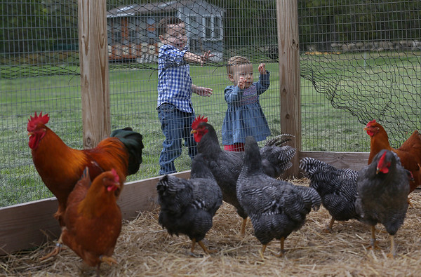 Prize-Winning Chickens