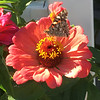 ANDREA HOLBROOK/Staff photo/A moth alights on a zinnia in a front-yard garden on Centennial Avenue in Gloucester on Friday.