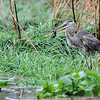 Gloucester:  A great Blue Heron finds lunch in the marsh off Wise Place. The Heron had quite a feed on the small rodants that got caught by the rising tide during Storm Sandy Monday afternoon. Desi Smith/Gloucester Daily Times. October 29,2012.