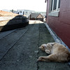 ALLEGRA BOVERMAN/Gloucester Daily Times Stubby the Manx cat who lives in Harbor Loop was relaxing in the shade at Maritime Gloucester on Monday morning.