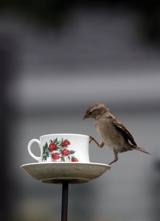 ALLEGRA BOVERMAN/Gloucester Daily Times A house sparrow eats from a teacup-shaped bird feeder at the corner of King and Beach streets in Rockport on Friday afternoon.