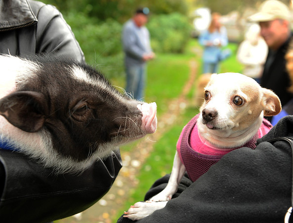Rockport: Alicia Garlack's pig Alamo gets a little to close for comfort for Joann Marks dog Chulpa 3, a rescue dog from Peru at the Blessing of the Animals at Millbrook Meadow Sunday afternoon. Donation were taken to benefit the Cape Ann Animal Aid Association.      Desi Smith/Gloucester Daily Times. October 7, 2012