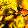 Jim Vaiknoras/Gloucester Daily Times: <br /> A butterfly pauses briefly on a stalk of goldenrod along a path leading to the breakwater in Gloucester.
