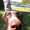 Allegra Boverman/Gloucester Daily Times. Maizie, a German short hair pointer, is busy inspecting things while with her owner Woody Kelly, President of the Historic Manchester Trust, while he sits in the shade at Masconomo Park on Monday afternoon.