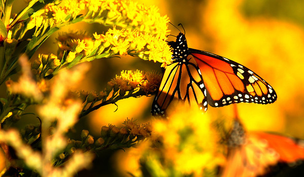 Jim Vaiknoras/Gloucester Daily Times<br /> A monarch butterfly pauses briefly on a stalk of goldenrod along a path leading to the breakwater at Eastern Point in Gloucester.
