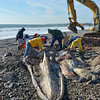 Desi Smith/Gloucester Daily Times. Rockport: Members of the National Marine Fisheries Service and volunteers removed the rostrum  (top jaw) and the flesh off a fin whale at Cape Hedge Beach in early November.  The bones were to be preserved and put on display at Seacoast Science Center in Rye, N.H.