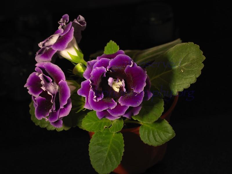 Singapore Flowers Gloxinia