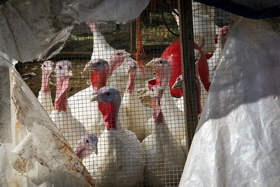 Ester Bishop owner of Gnarly Vines Farm, Located in Tiverton RI with her turkeys