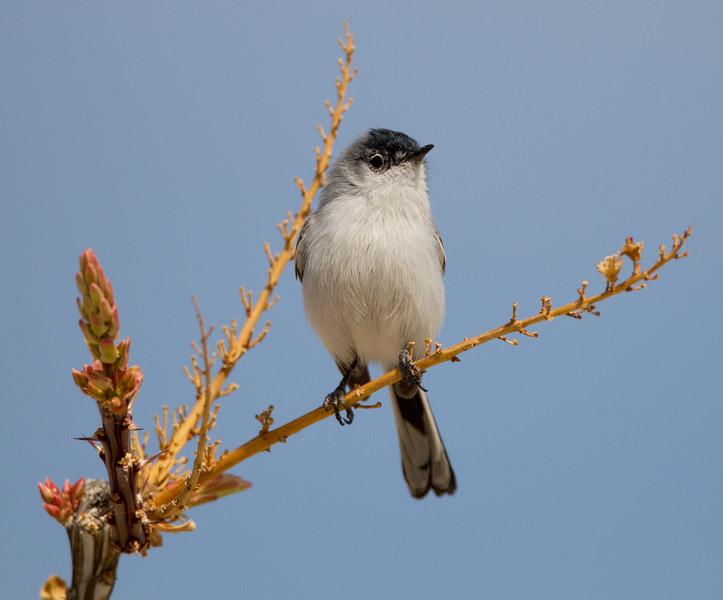 Black-tailed Gnatcatcher   Borrego Spring  2014 02 02-2.CR2