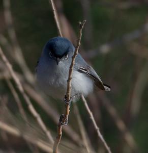 Blue-gray Gnatcatcher  Diaz Lake Lone Pine 2013 04 23 (2 of 4).CR2