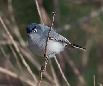 Blue-gray Gnatcatcher  Diaz Lake Lone Pine 2013 04 23 (3 of 4).CR2