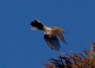 Blue-gray Gnatcatcher  San Dieguito Lagoon 2011 10 29  (3 of 5).CR2