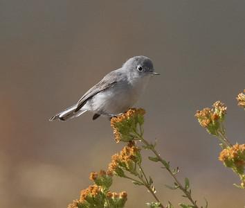 Blue-gray Gnatcatcher Carlsbad 2020 11 08-1.CR2
