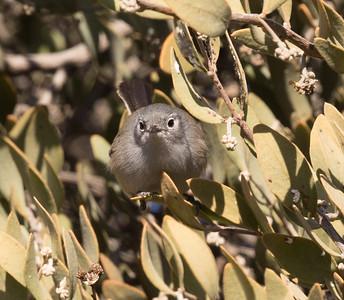 California Gnatcatcher Chula Vista 2015 12 17-1.CR2