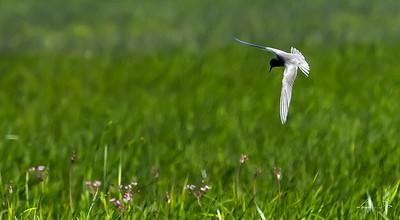Guifetteg noire, black tern