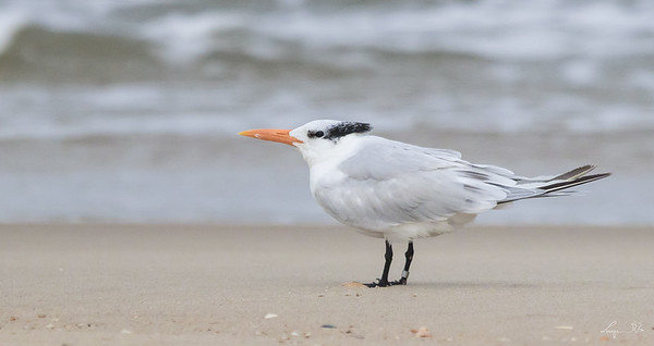 Sterne royale , Royal tern, Cap Hattéras, North Carolina