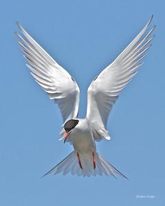 Sterne pierregarin - Parc de la Frayère le 18 mai 2012 . Si j'étais un ange, je demanderais à Dieu les ailes de la Sterne.   Jacques Lesage m.d.