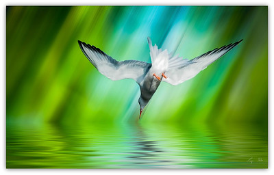 Sterne perregarin. Common Tern.