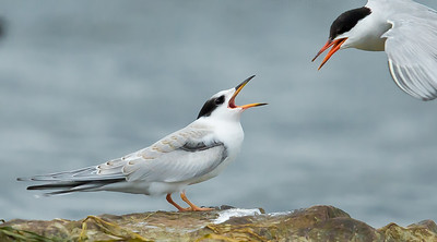 Sternes pierregarin. Common tern.