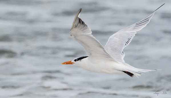 Sterne Royale, Royal tern. Cap Hatteras , North Carolina