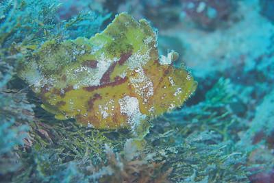 Leaf Fish 葉魚