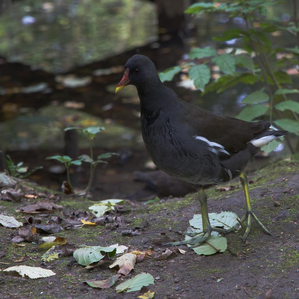 Fredriksdal. The pond early October. Common Moorhen.