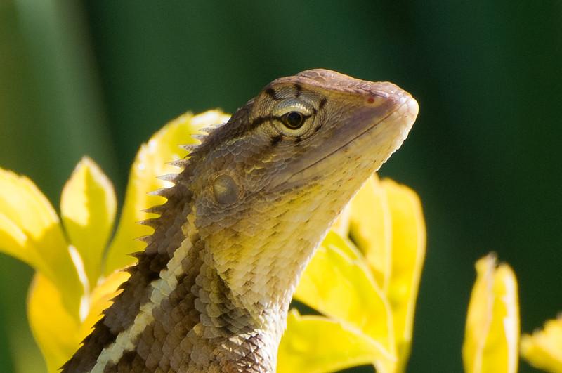 Coomon garden lizard (Colotes versicolor)