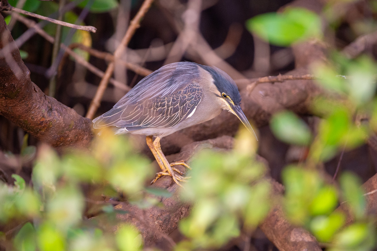 Little Heron (Striated Heron)