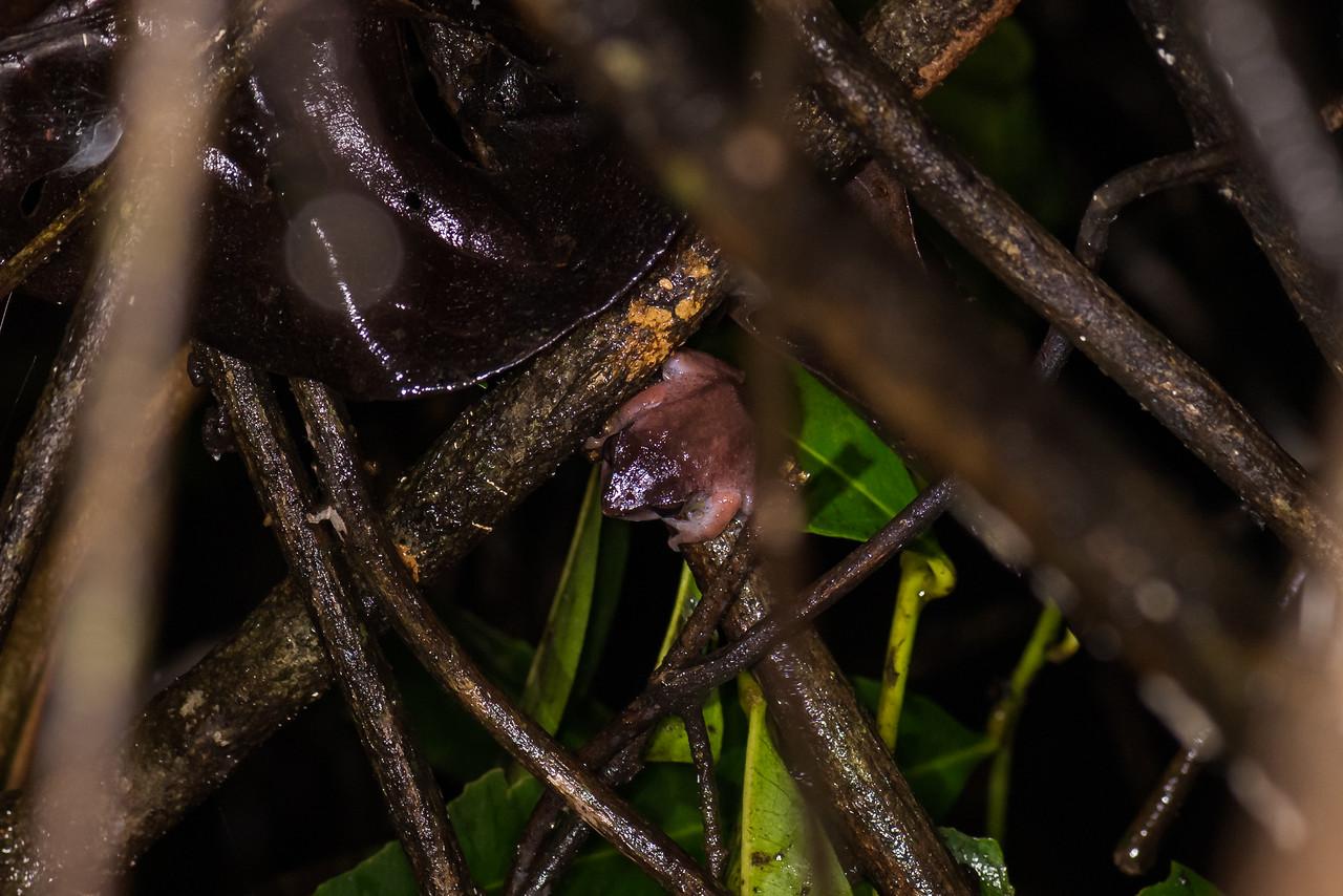 Amboli Bush Frog